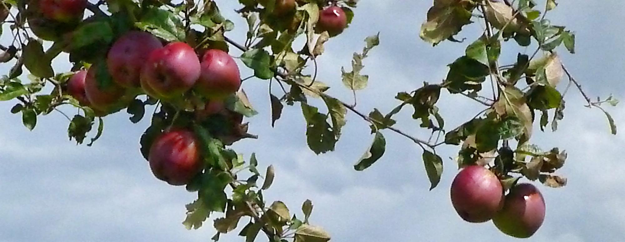 Obst vom Wegesrand-17.8.14   (10)