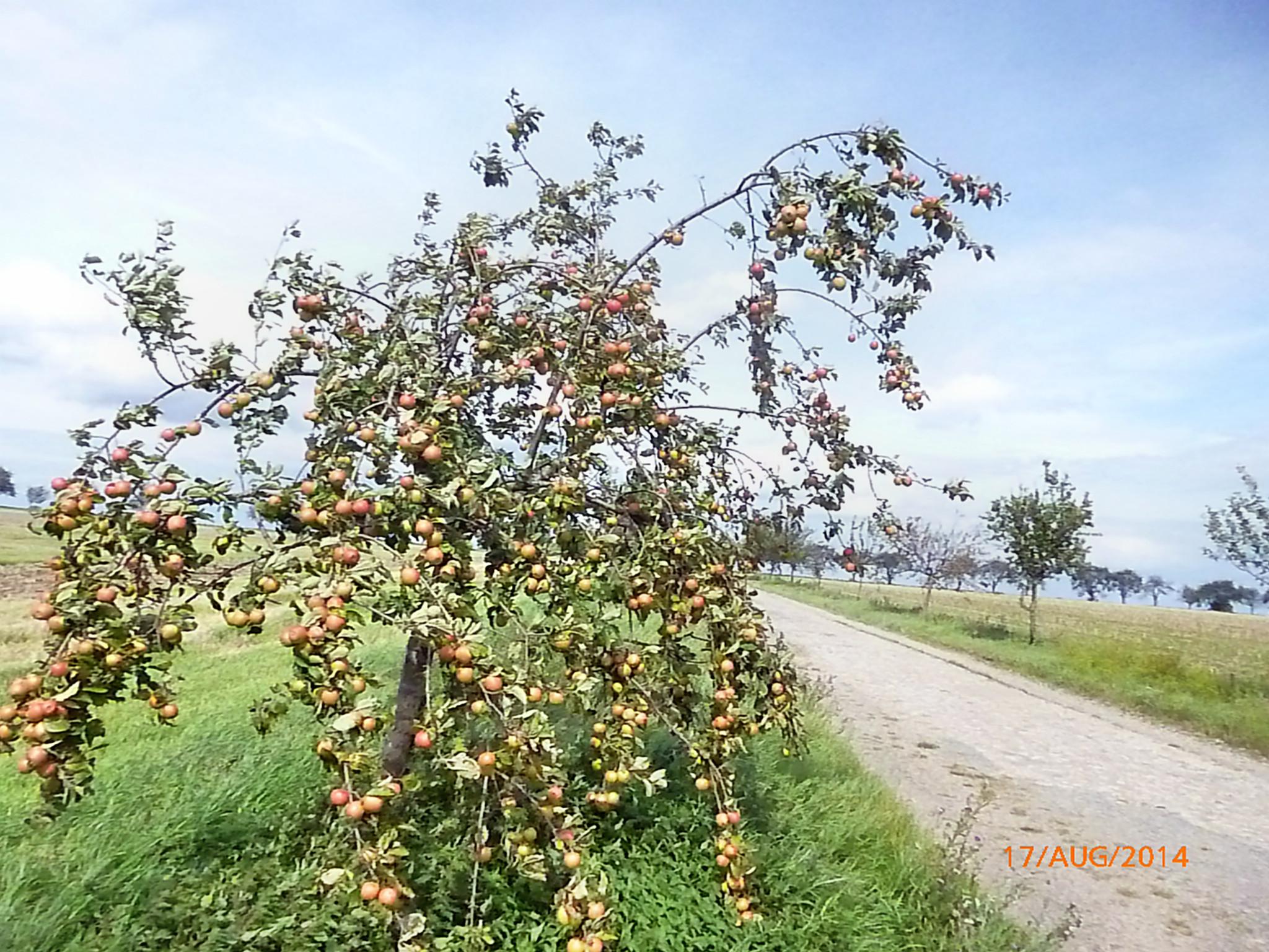 Obst vom Wegesrand-17.8.14   (12)