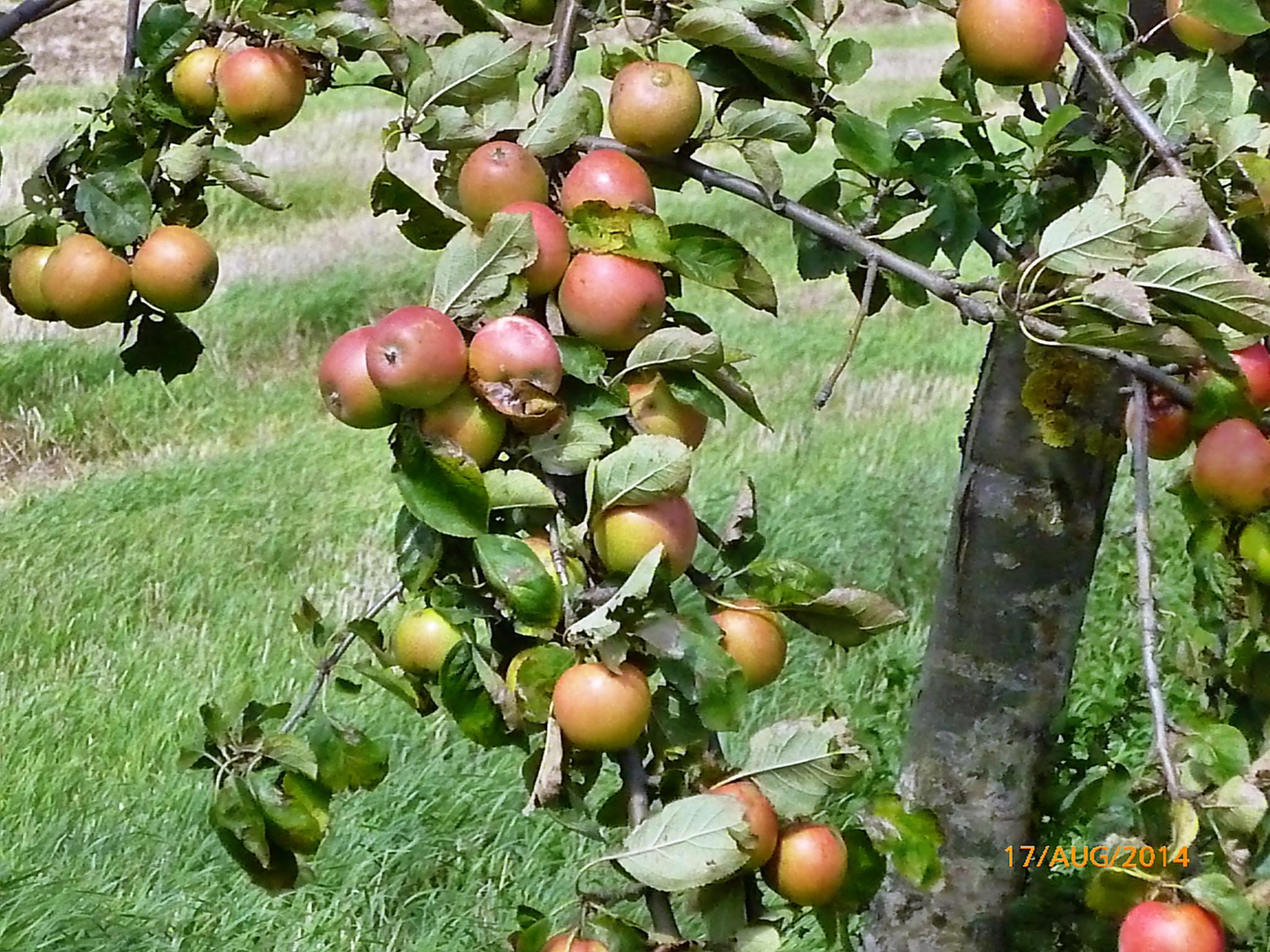 Obst vom Wegesrand-17.8.14   (14)