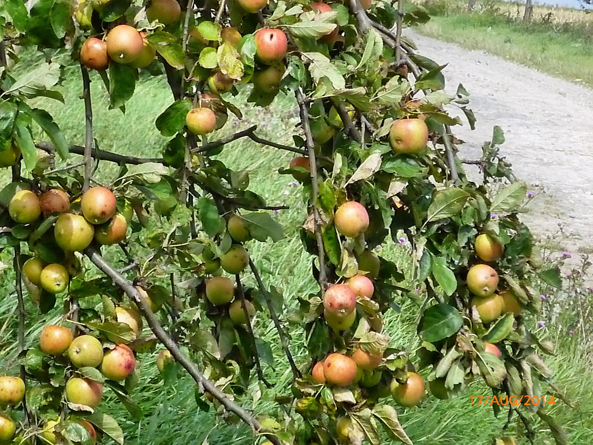 Obst vom Wegesrand-17.8.14   (15)
