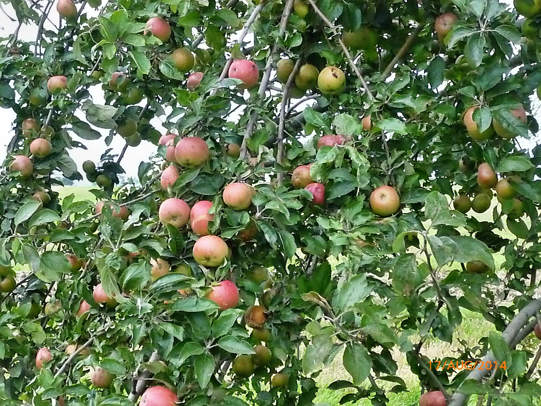 Obst vom Wegesrand-17.8.14   (18)