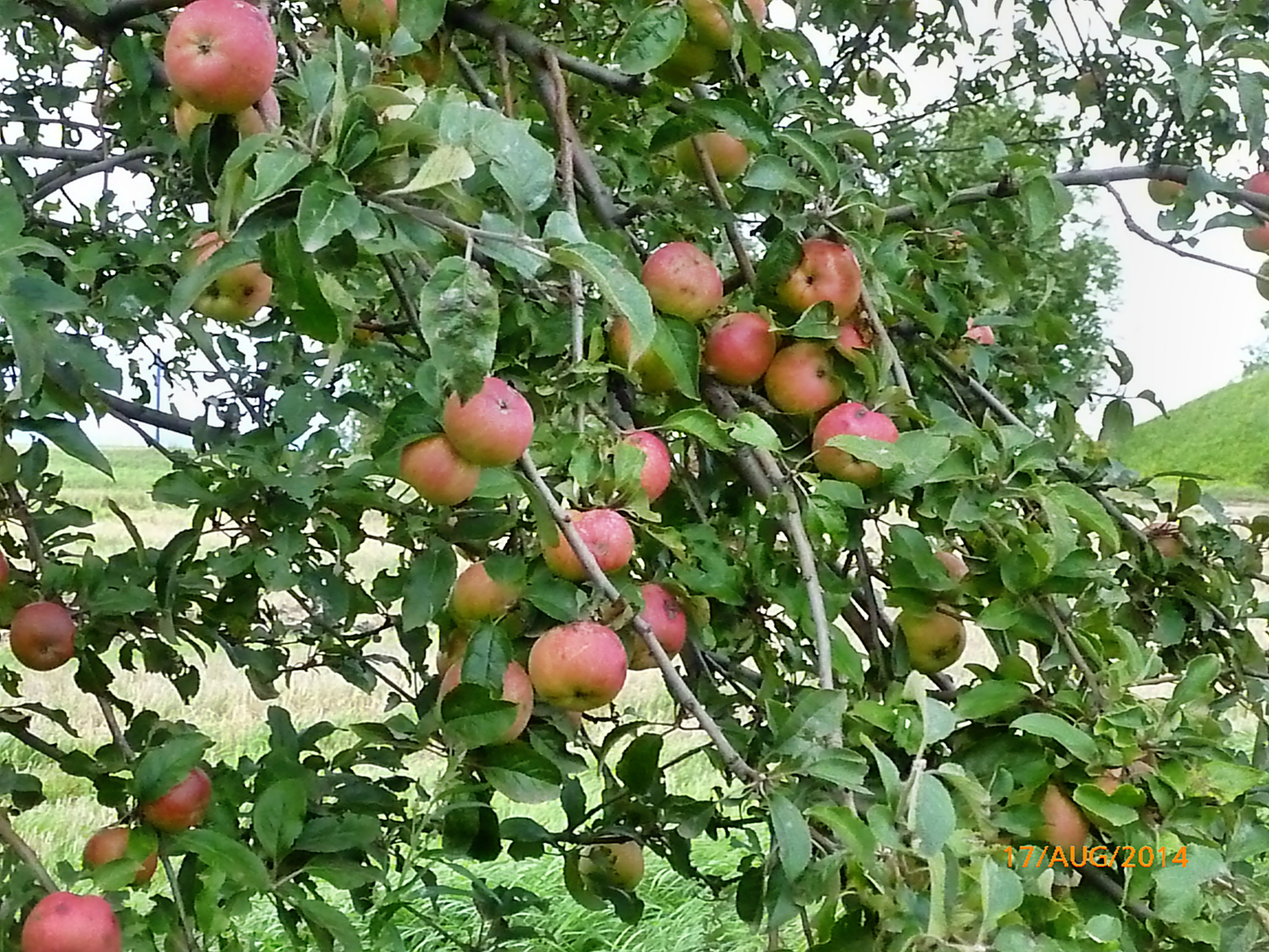 Obst vom Wegesrand-17.8.14   (19)