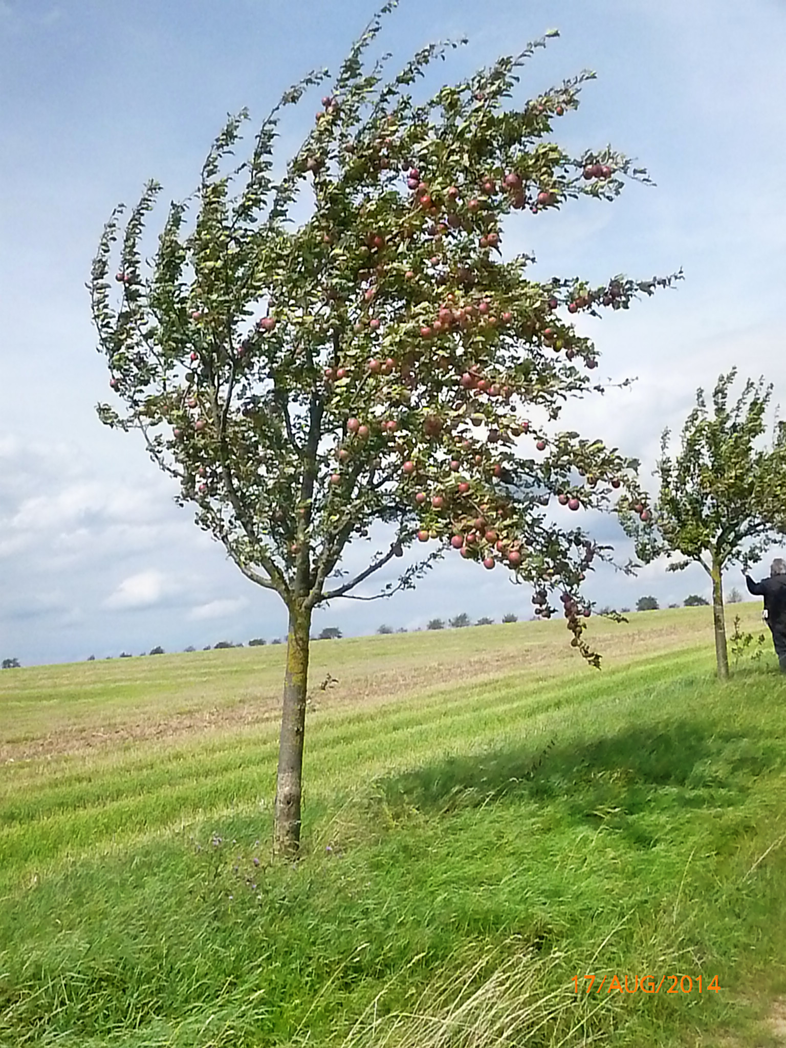 Obst vom Wegesrand-17.8.14   (2)