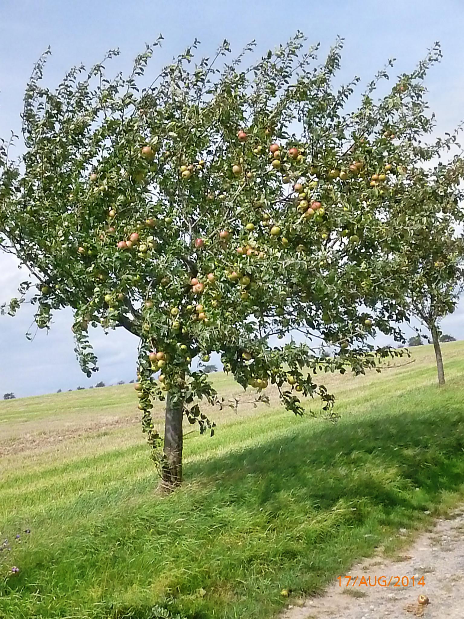 Obst vom Wegesrand-17.8.14   (4)
