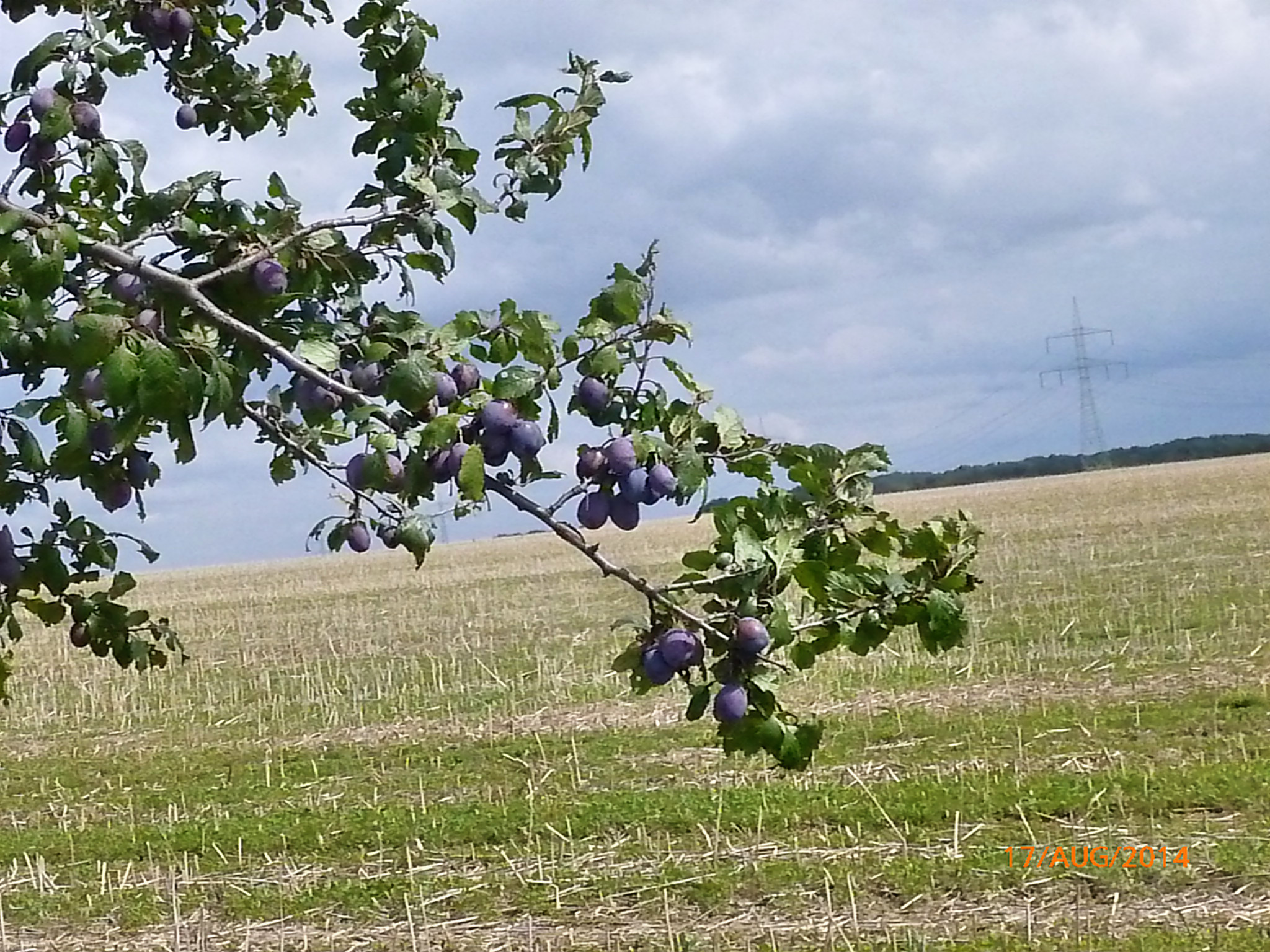 Obst vom Wegesrand-17.8.14   (6)