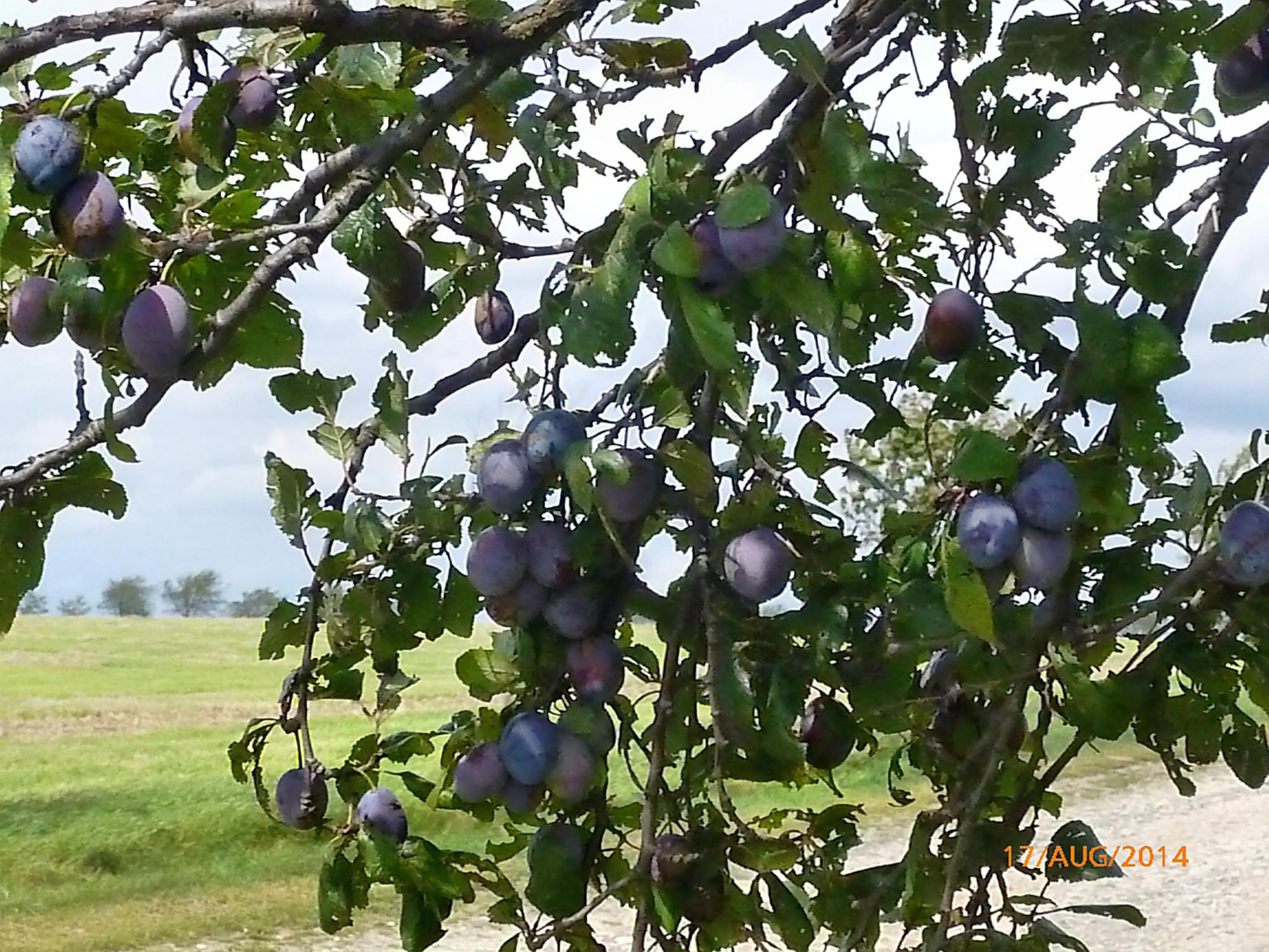 Obst vom Wegesrand-17.8.14   (7)