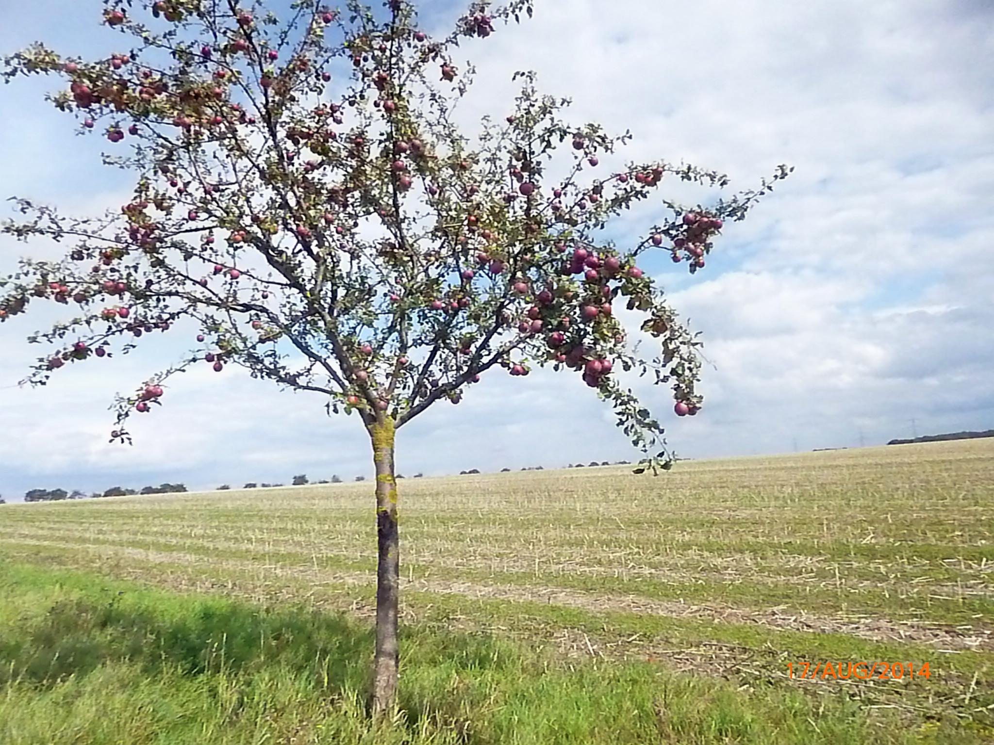 Obst vom Wegesrand-17.8.14   (9)