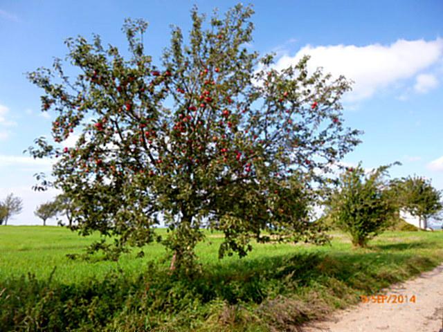 Apfelbäume--8.9.14   (1)