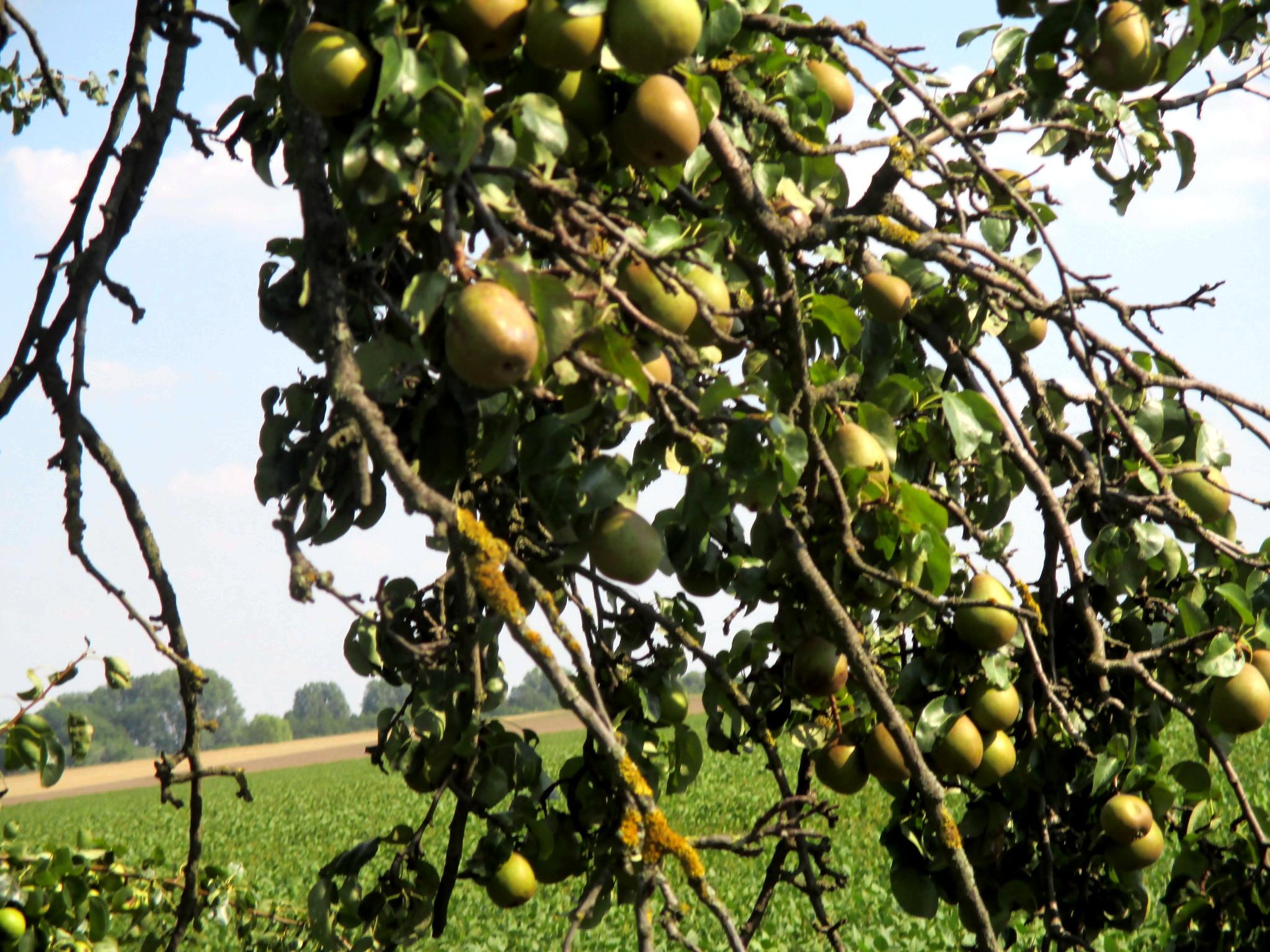 Obst am Wgwesrand -22.8.15   (5)