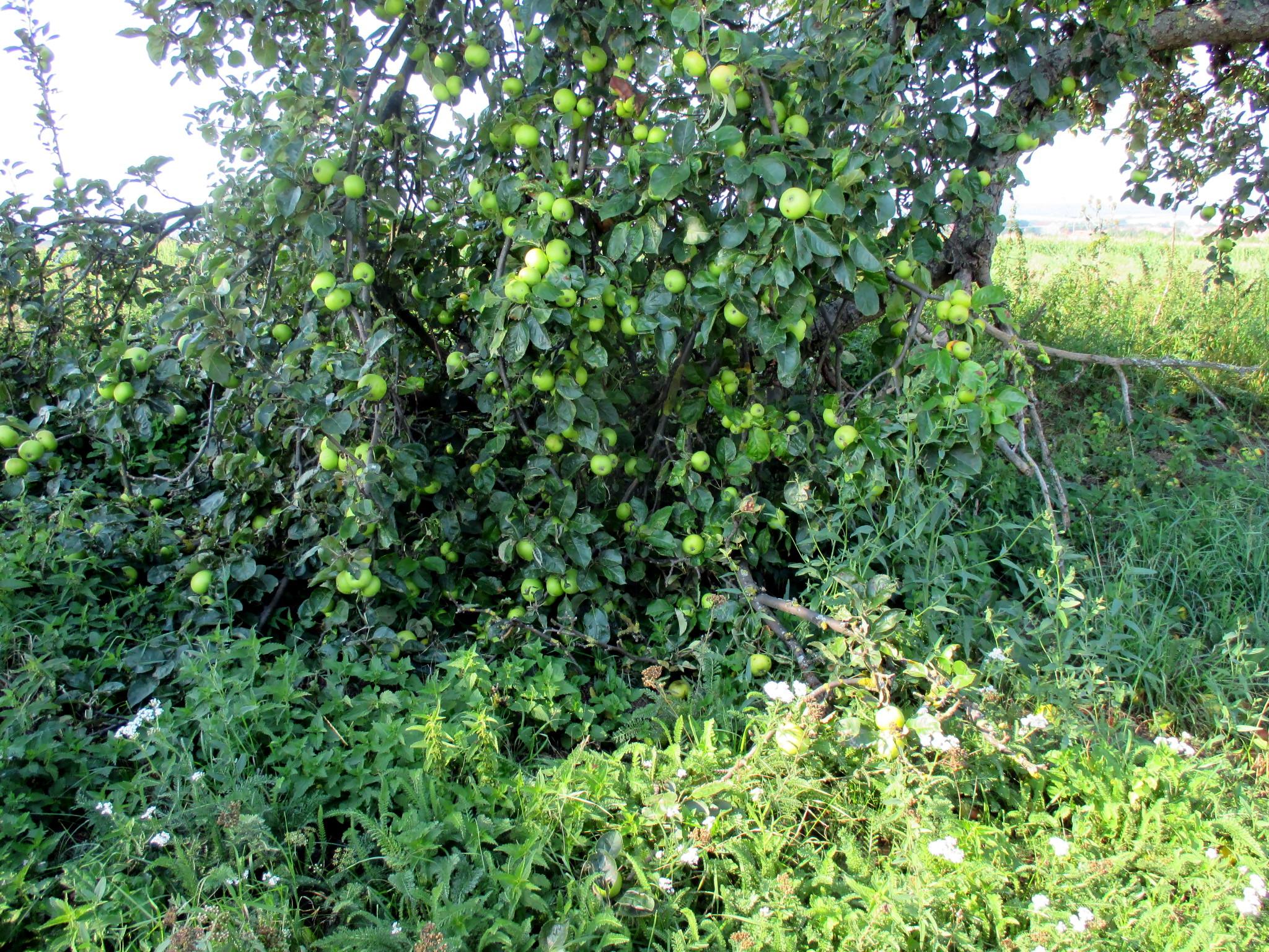 Obst am Wgwesrand -22.8.15   (6)