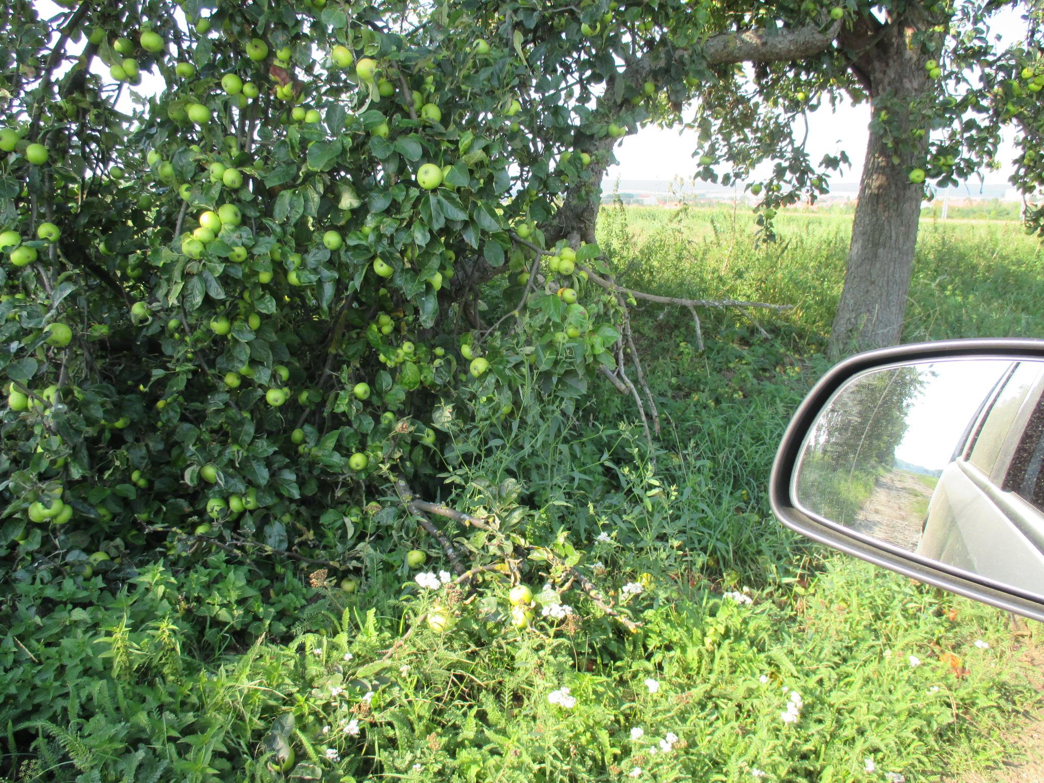 Obst am Wgwesrand -22.8.15   (7)