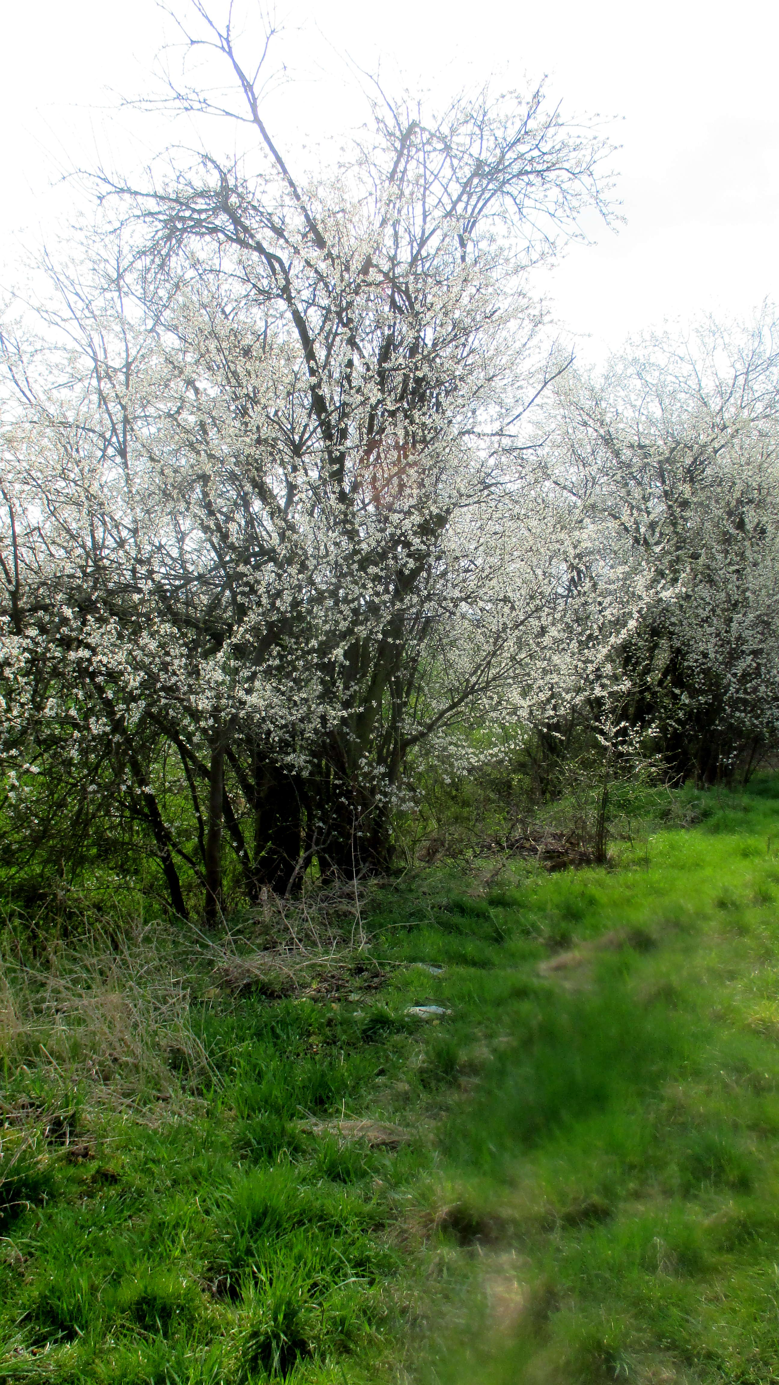 9.4.16 - Nermsdorf,Mirabellenblüte (3)